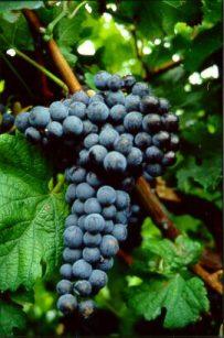 Resultado de imagen de merlot uva
